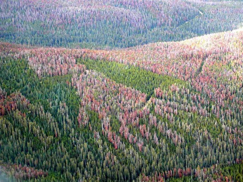 Pine Beetle Damage Forest
